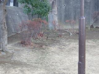 201-1-12 今年初ツグミ!!.JPG